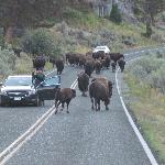 What NOT to do when in a bison jam!
