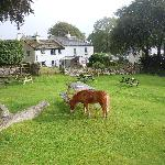 Dartmoor ponies in the back yard