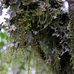  Hanging lichen