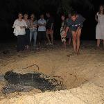 A turtle came for lay eggs near beach of Lagoon Paradise Beach Resort