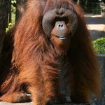 An Orang Utan At The Zoo