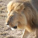 Up close and personal with a lion in the Maasai Mara