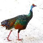  Oscellated Turkey