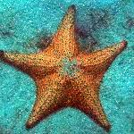 Large starfish by the hundreds