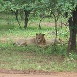  LION AT DEVALIYA PARK