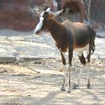 Extremely rare Bontebok Antelope at GPZ in Brownsville TX