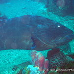 One of the large groupers hanging about