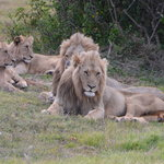 Magnificent to see lions so close up