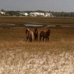  Banker ponies on Carrot Island