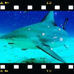  bull shark