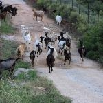 goats having a stroll!!