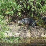 Resident Gator