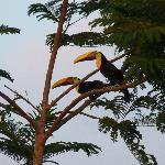  Couple de toucans  Ojochal