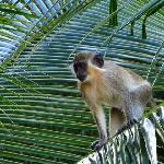 A neighbourhood green monkey