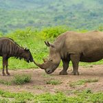 Rhino/Wildeest Nose to nose