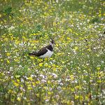 Lapwing down on the Machair