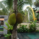 A jackfruit tree at another villa