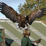 Falconry UK
