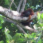 Red Howler Monkey, Nariva Swamp