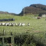 Les and his sheep (view from our window)