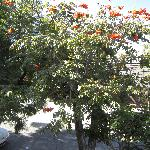 "This beautiful ""orange"" tree outside of our bedroom window"
