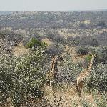 Giraffe family on a game drive