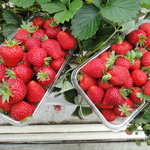 ‪Hedgerows Hydroponic Strawberries‬
