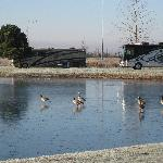Premier RV Resort Eugene - Cold morning, geese on frozen pond!