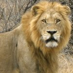 Male lion during the Kruger safari.