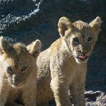 Two of the lion cubs recently born at the zoo