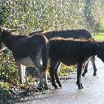 Christmas Donkeys in the lane.....