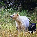 Spirit Bear mum and black cub