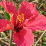 Hibiscus flower outside Rose Cottage