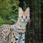 taking a walk with a serval