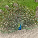  The hotel&#39;s beautiful Peacock made a guest appearance throughout the day.