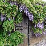 Wisteria was lovely