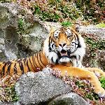 Beautiful Siberian Tiger at Auckland Zoo