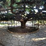 Panorama of a park with a huge tree