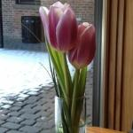 Snow and tulips--the courtyard at Bread Alone