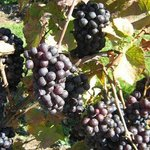 Grapes almost ready for harvest