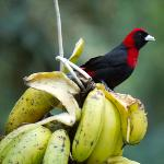 A crimson-collared tanager.