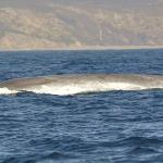 Blue whales are BIG :-)
