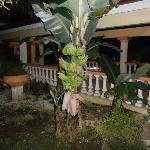 Hotel entrance and banana tree
