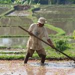  Farmer working in ricefield