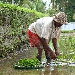  Farmer planting rice