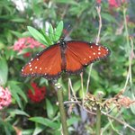 Homosassa Butterfly