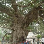 the  sacred  parijat  tree