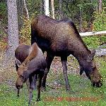 Moose visitors!