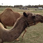 Some the camels getting up close and friendly