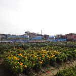 Flower Fields of Chikura-cho